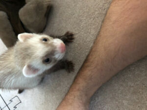 Ferret 7 month old male comes with everything