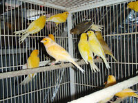Variety of Canaries