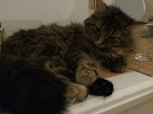 **Chatte 2 ans ** Affectueuse ** à adopter
