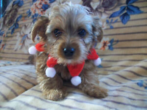 6 cute adorable morkie puppies ready in time for christmas