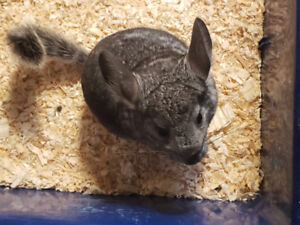 Charcoal coloured  Male baby chinchilla for sale