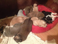 chien,chiot ,husky/colley, bouvier bernois