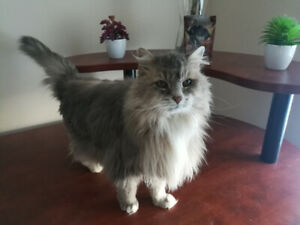 Loving Senior Cat Looking For a New Home. Free.