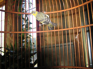 Green Singing Finch with cage