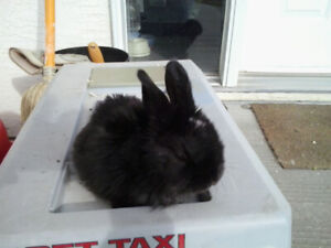 Only one left! Holland lop cross bunnies for sale