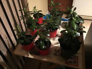 Plante tropicale:  Crassul