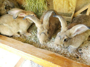 Flemish Giant | Kijiji in Ontario  - Buy, Sell & Save with