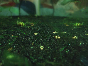 Bébé Escargots Assassin Baby Snails - Aquarium