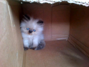 Himalayan kittens ready to go