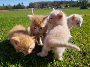 Cute peach colored kittens to give away - SOLD OUT