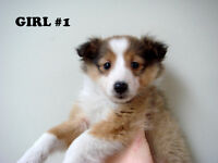 Sheltie Puppies (Shetland Sheepdogs)