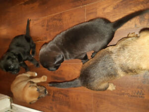 Lab mix puppies for sale REDUCED PRICE