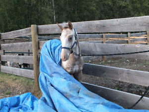 """2013 ApHcc filly """"Im Mighty Brite Lady"""" Williams Lake Cariboo Area image 6"""