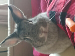 Netherland dwarf bunny with acessories for sale!