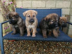 German shepherd x ridgeback puppies