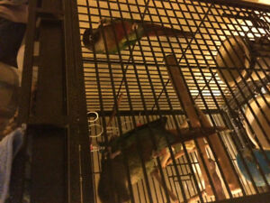 Green cheek conures and cage