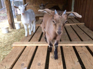 Baby goats for sale