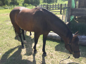 7 yr old Registered Paint mare