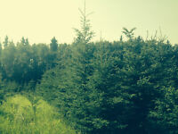 Spruce and Pine Trees for sale