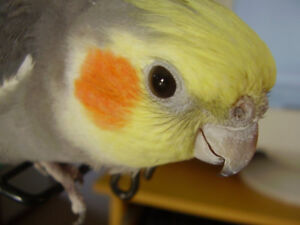"""""""❤★❤ Cockatiels Available with Cage❤★❤"""""""