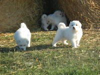 Pyrenees/Akbash Puppies