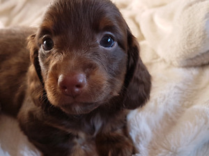 L. H. DACHSHUND PUPPIES FOR SALE