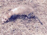Adult ferrets for sale