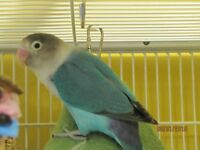 A Female Teal Blue Black-Masked Lovebird Available