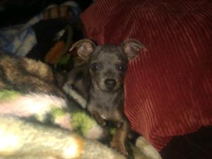 Chihuahua Blue Males