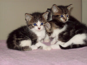 EXTREMELY BIG AND BEAUTIFUL MAINE COON CROSS KITTENS 2 LEFT