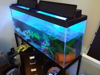4 axolotls + 45 Gallon tank with stand for sale