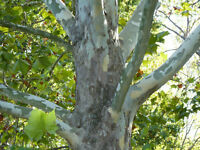 Sycamore Trees and Northern Red Oak Trees for Sale