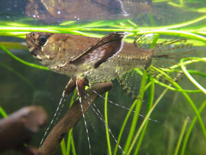 Free to a good home african butterfly fish, sajica cichlid, plec Kawartha Lakes Peterborough Area image 4