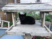 2 male, black kittens. Very friendly, litter trained, weaned and ready for their forever homes