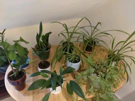 PLANT SALE - house plants with pots - all £10 each!