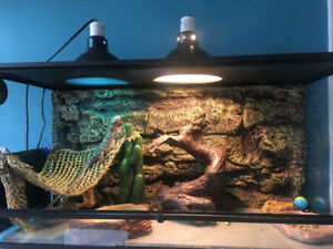 Fancy bearded dragon and habitat