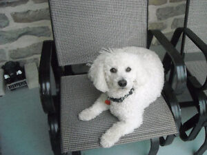 garderie pension chien caniche,bichon poodle shih tzu dog board.