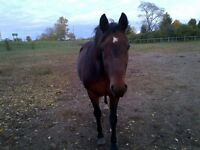 Beautyful Mare Available for Co-Board...Indoor Arena