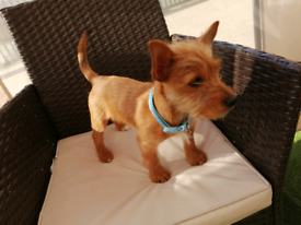 Yorkshire terrier x Jack Russell