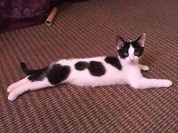 Gorgeous female kitten.