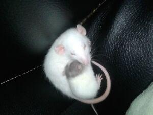 Jolis rats cherchent une bonne famille!!!