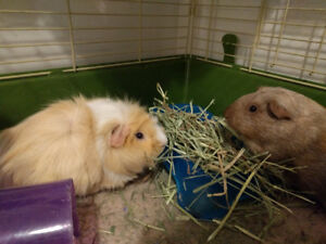 Two female guinea pigs searching for a new loving home