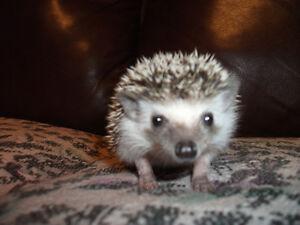 baby  boy hedgehog!!!