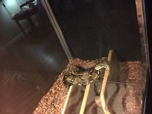 Beautiful BOA CONSTRICTOR forsale London Ontario image 4