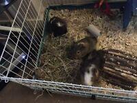 3 male Guinea pigs