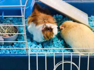 Guinea pigs with supplies and cage