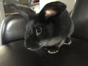 5 months old short haired bunny for sale need gone asap