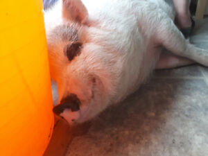 Free to good home. Tame potbelly cross pig