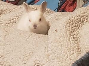 Dwarf cross mini Rex bunnies