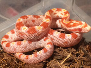 Local Breeder of quality snakes